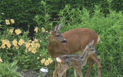A family of deer in the garden.